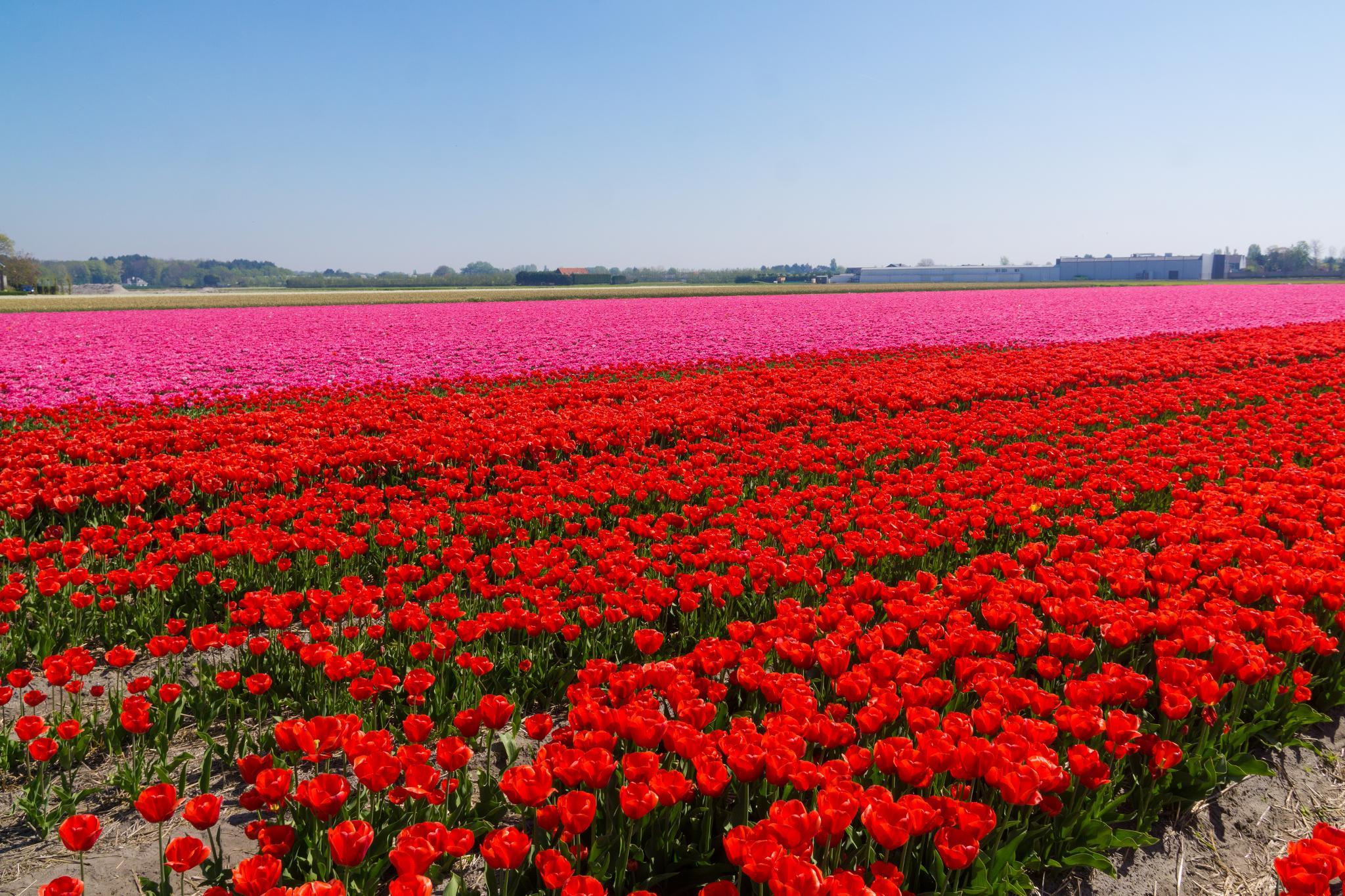 【荷蘭印象】花田嬉事:荷蘭單車花之路 7