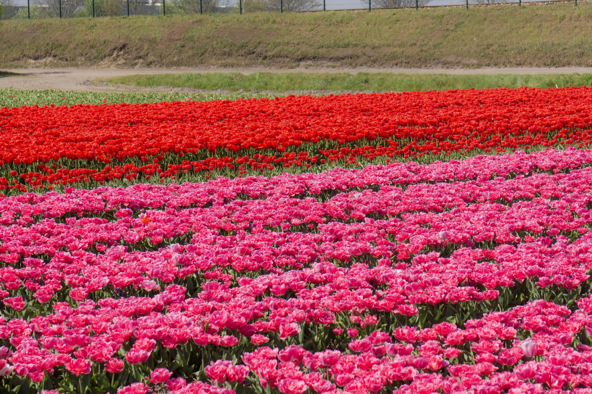 【荷蘭印象】花田嬉事:荷蘭單車花之路 8