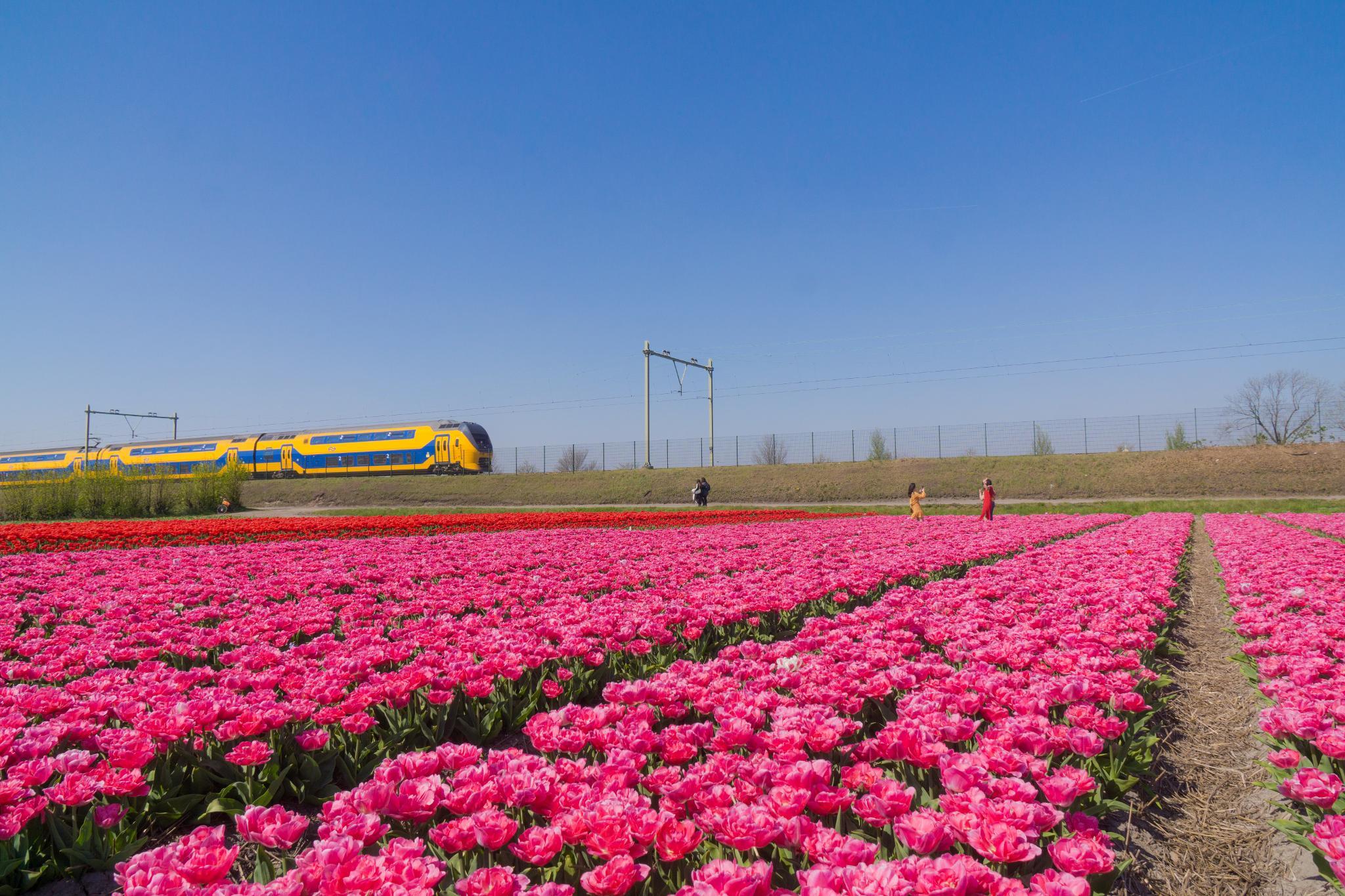【荷蘭印象】花田嬉事:荷蘭單車花之路 14