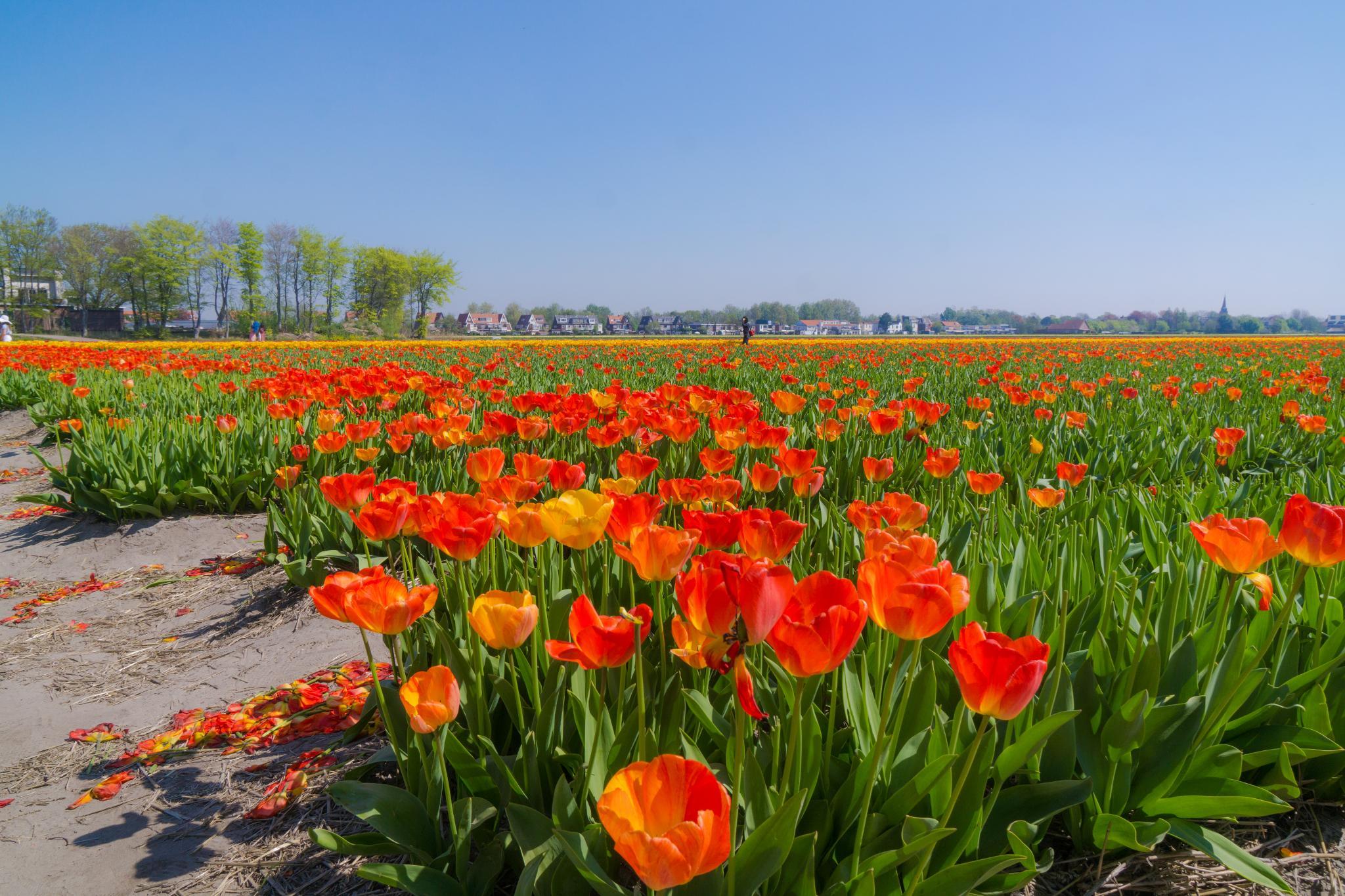 【荷蘭印象】花田嬉事:荷蘭單車花之路 21