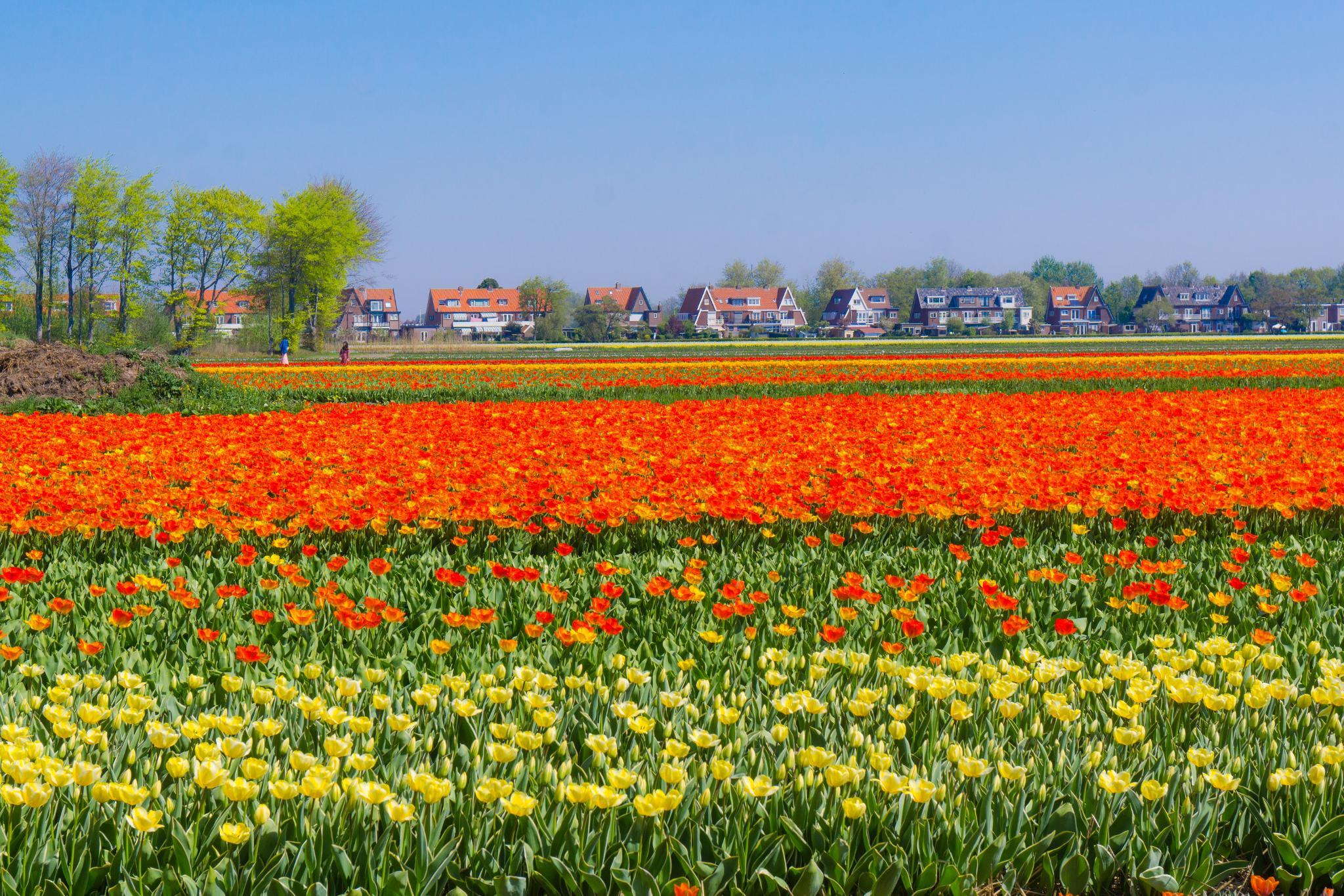 【荷蘭印象】花田嬉事:荷蘭單車花之路 19