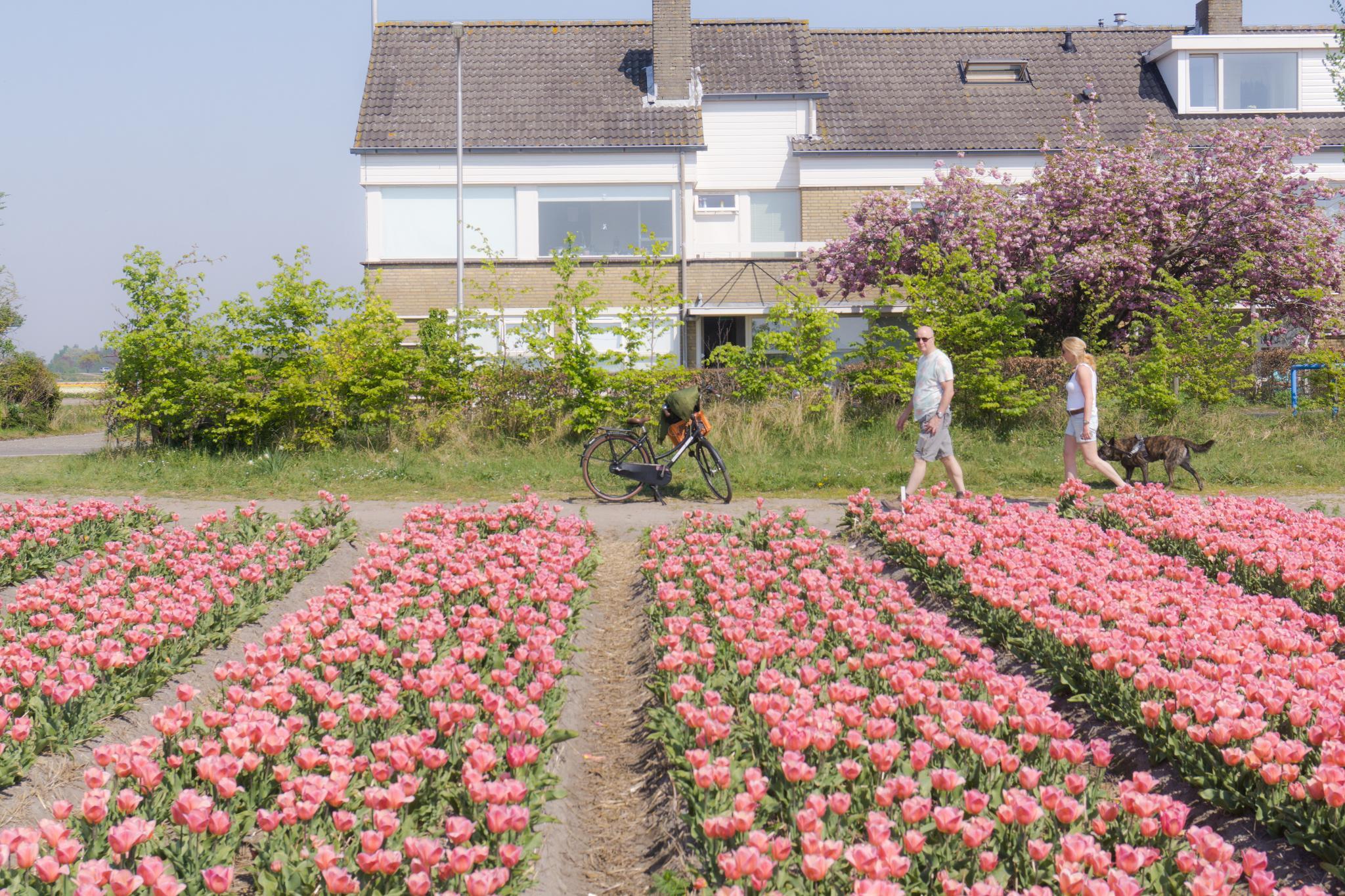 【荷蘭印象】花田嬉事:荷蘭單車花之路 33