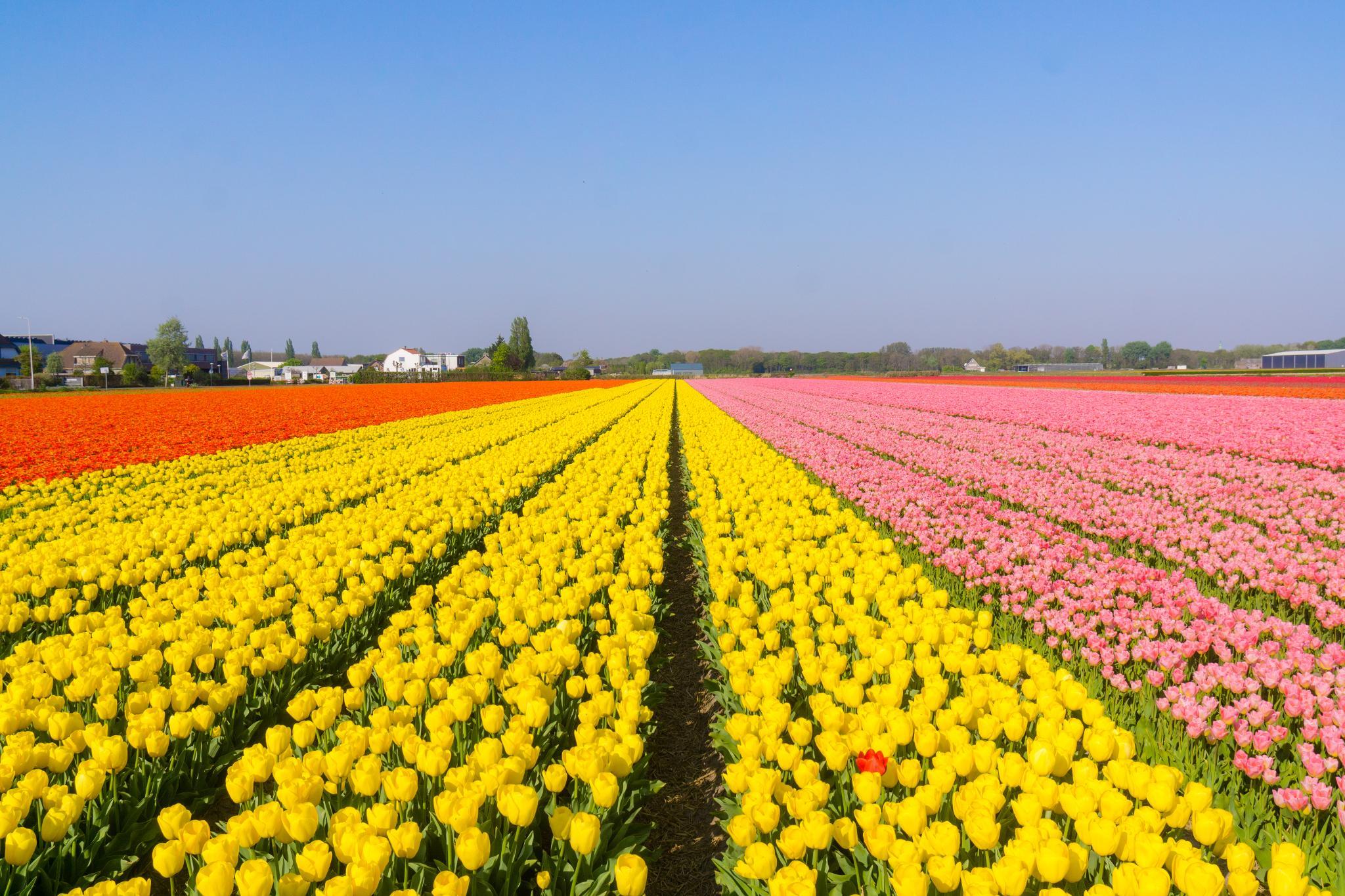 【荷蘭印象】花田嬉事:荷蘭單車花之路 48