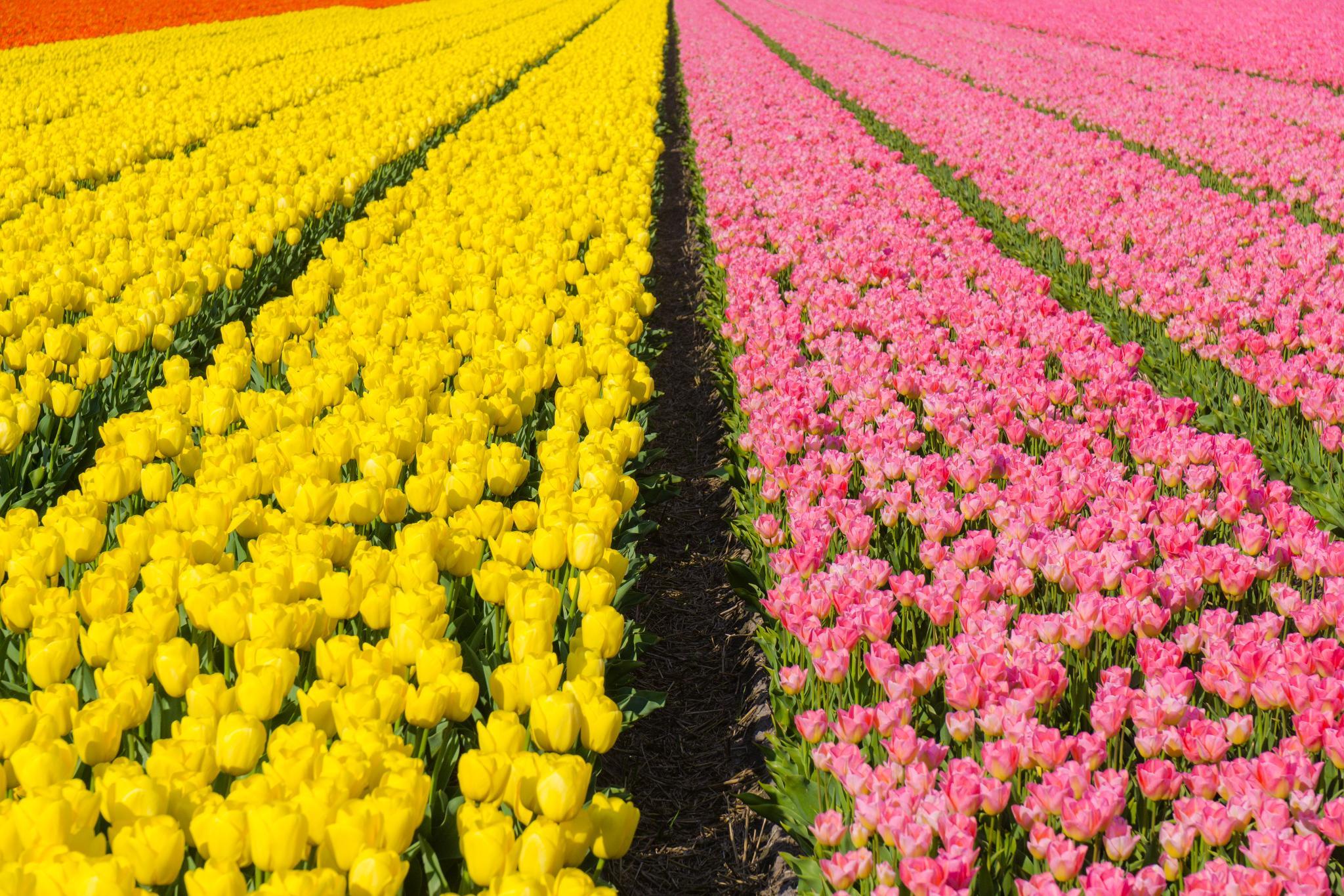 【荷蘭印象】花田嬉事:荷蘭單車花之路 50