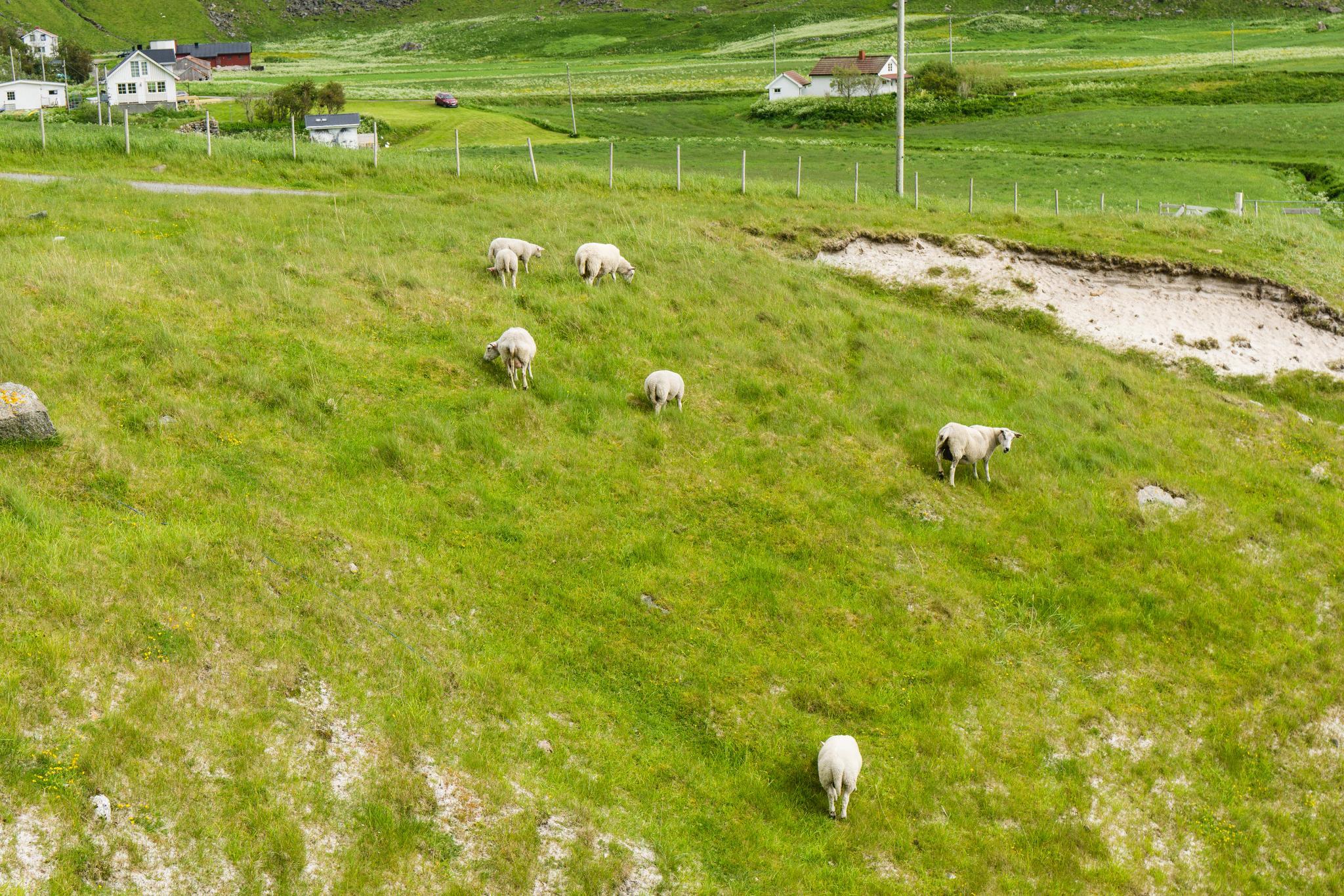 【羅弗敦群島】與羊共舞的人間仙境 - Uttakleiv Beach 與 Haukland Beach 56