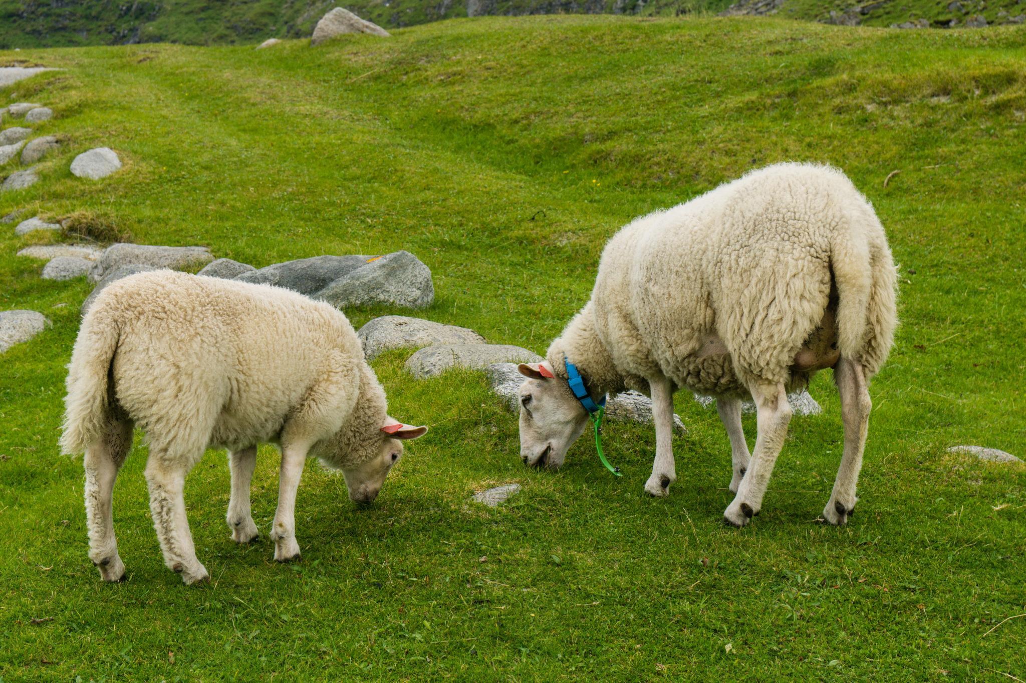 【羅弗敦群島】與羊共舞的人間仙境 - Uttakleiv Beach 與 Haukland Beach 65