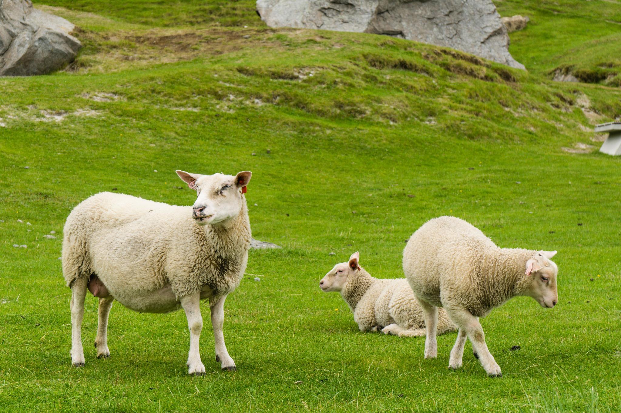 【羅弗敦群島】與羊共舞的人間仙境 - Uttakleiv Beach 與 Haukland Beach 64