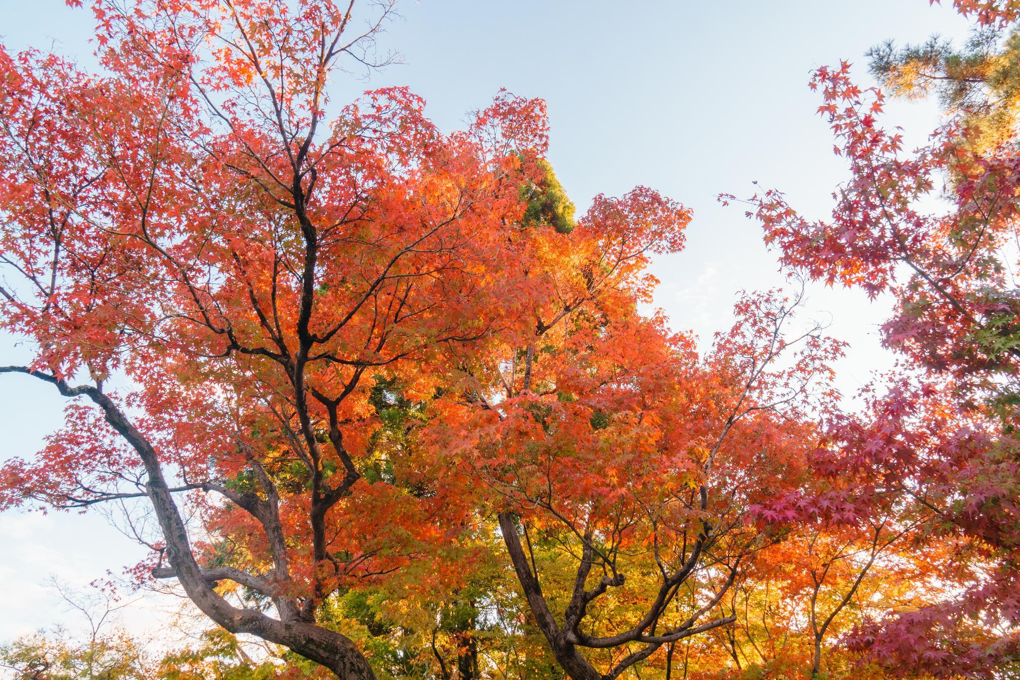 【京都】此生必來的紅葉狩絕景 - 永觀堂夜楓 103