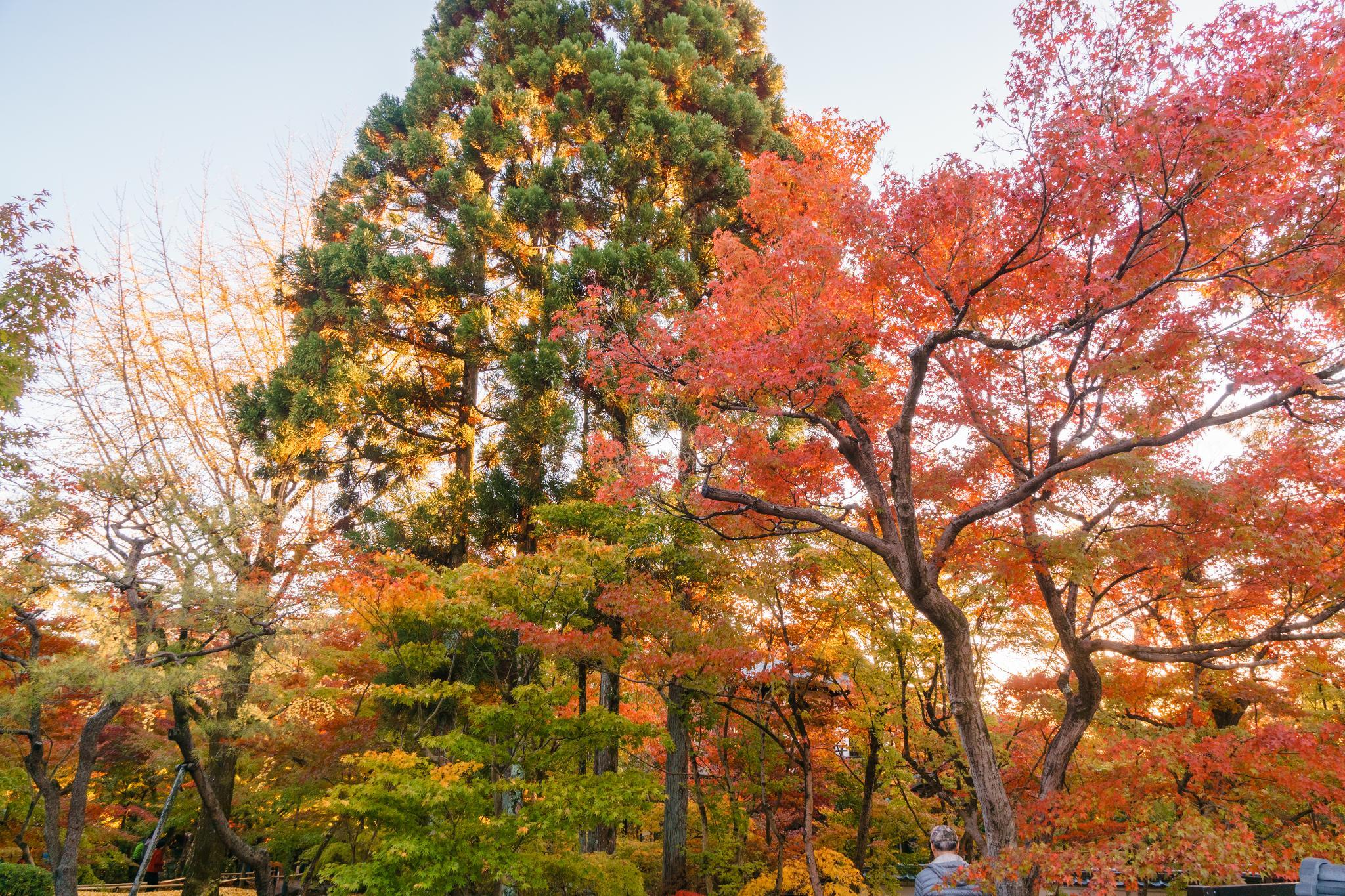 【京都】此生必來的紅葉狩絕景 - 永觀堂夜楓 105