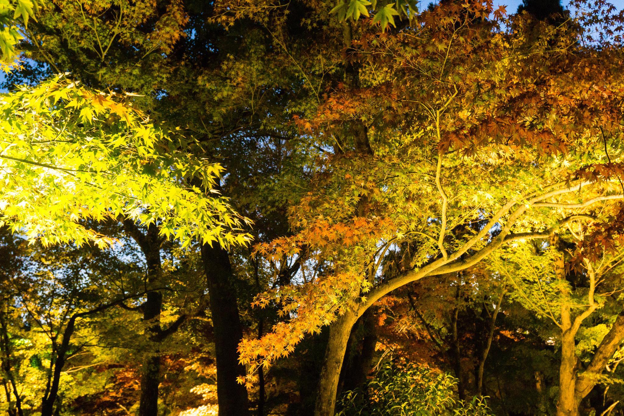【京都】此生必來的紅葉狩絕景 - 永觀堂夜楓 106