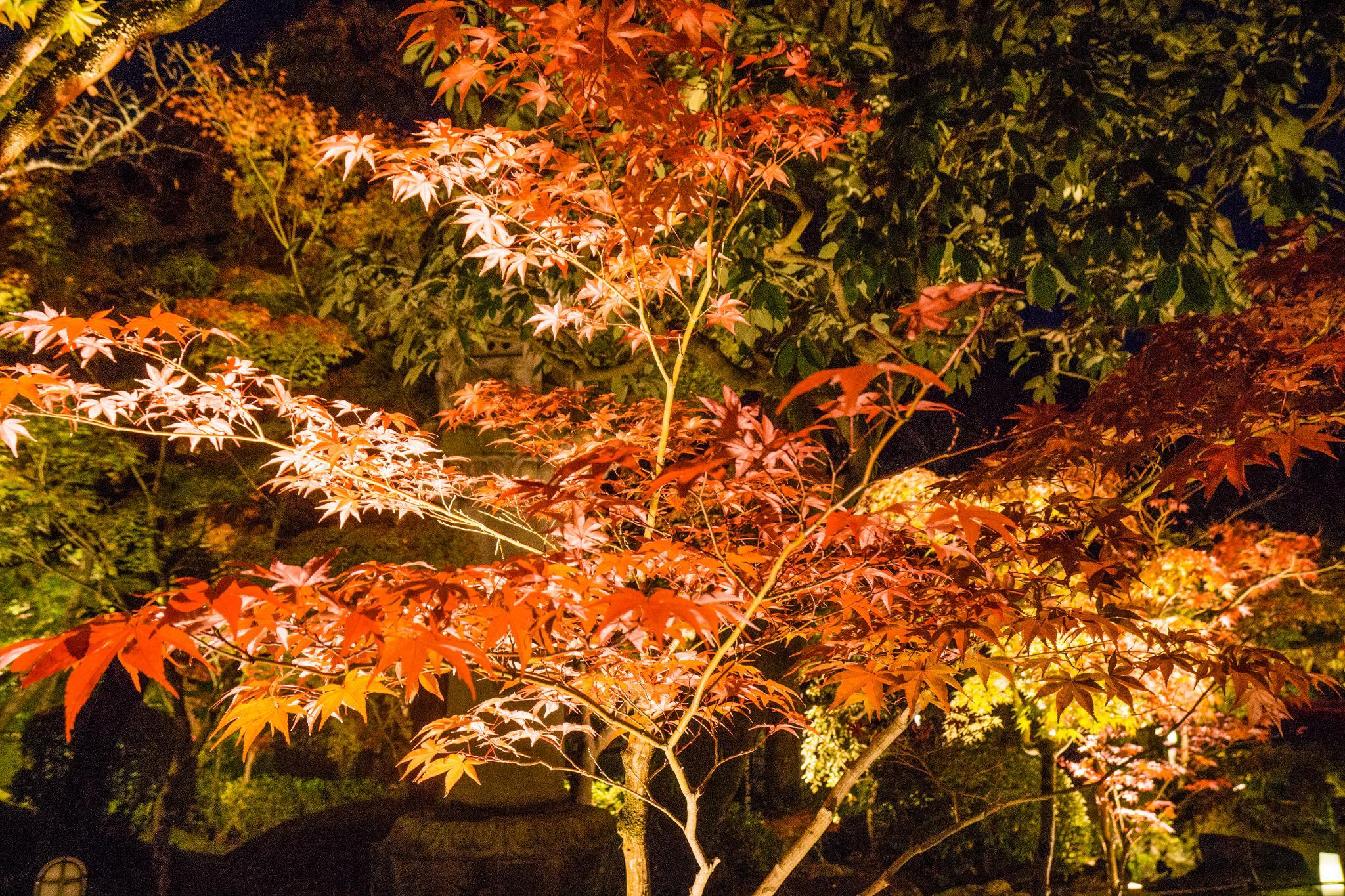 【京都】此生必來的紅葉狩絕景 - 永觀堂夜楓 133
