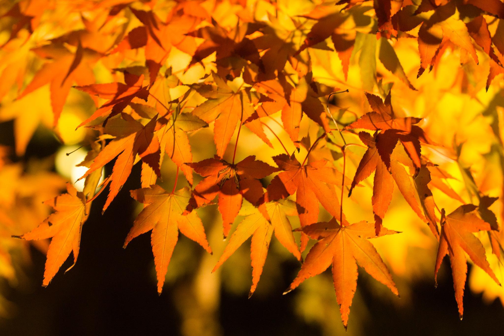 【京都】此生必來的紅葉狩絕景 - 永觀堂夜楓 137