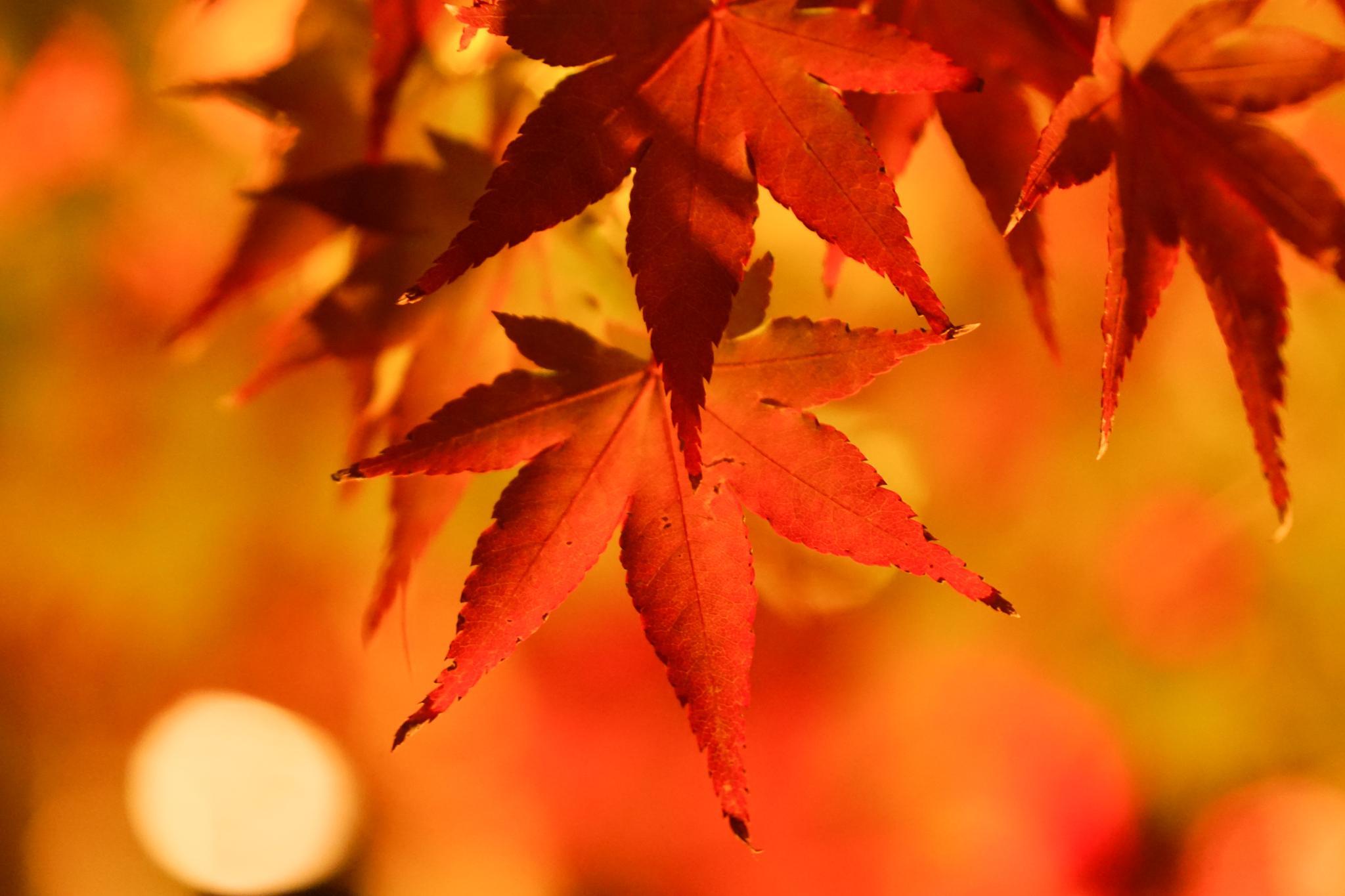 【京都】此生必來的紅葉狩絕景 - 永觀堂夜楓 136