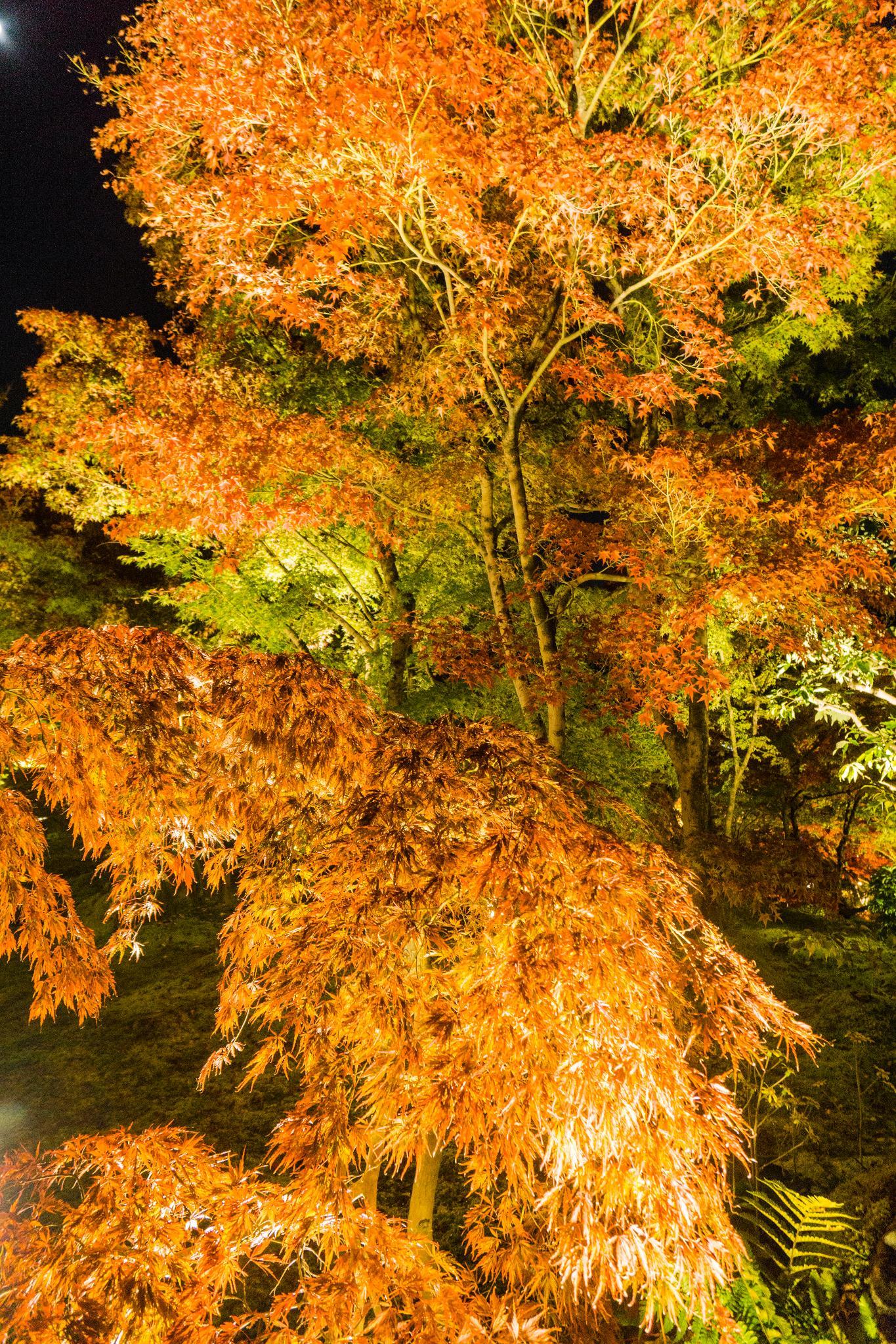 【京都】此生必來的紅葉狩絕景 - 永觀堂夜楓 127
