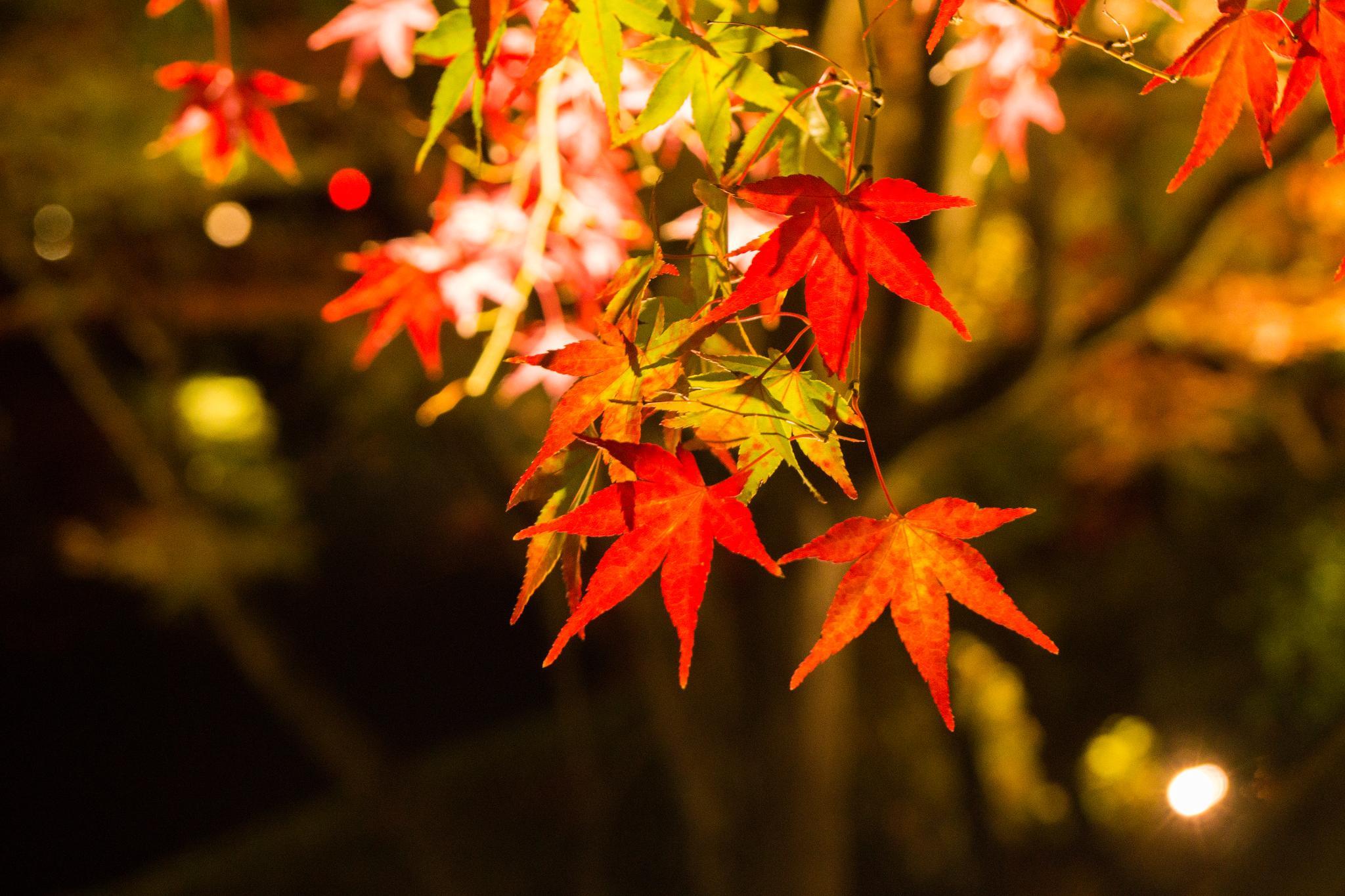 【京都】此生必來的紅葉狩絕景 - 永觀堂夜楓 139