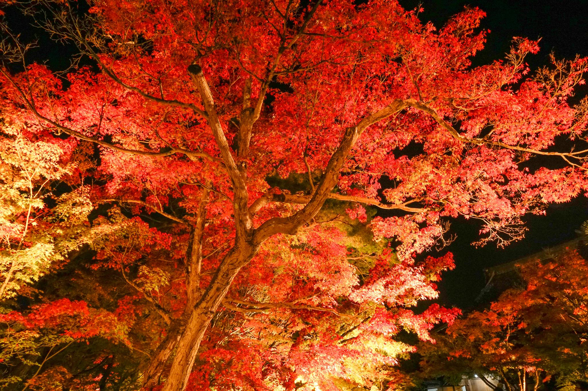 【京都】此生必來的紅葉狩絕景 - 永觀堂夜楓 141