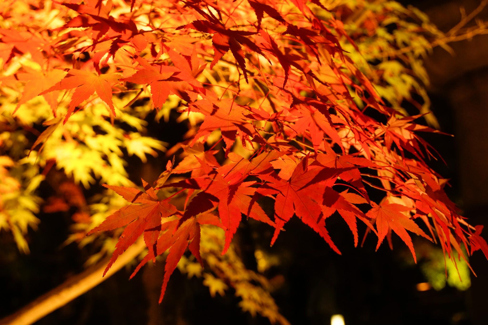 【京都】此生必來的紅葉狩絕景 - 永觀堂夜楓 135