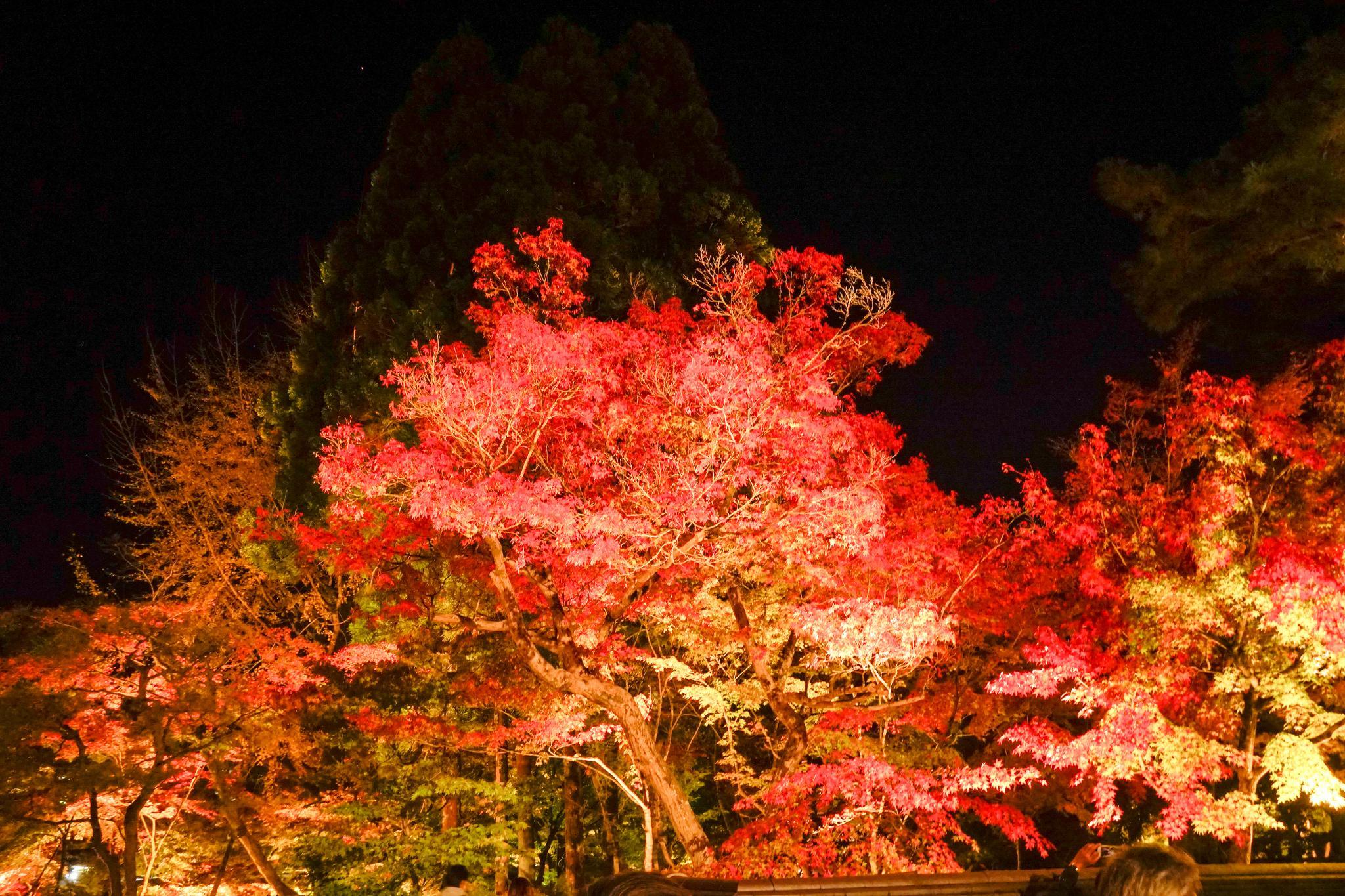 【京都】此生必來的紅葉狩絕景 - 永觀堂夜楓 140