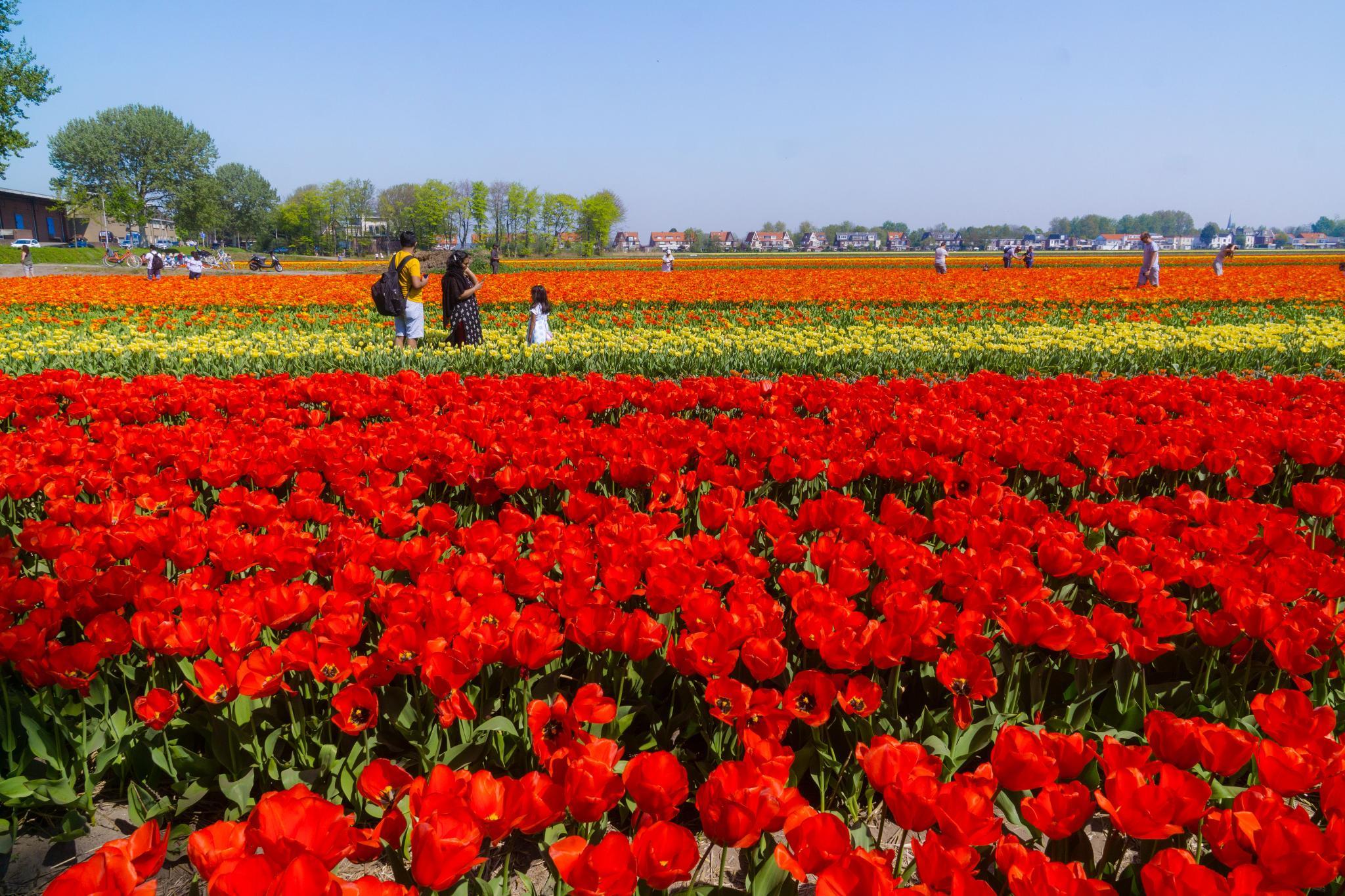 【荷蘭印象】花田嬉事:荷蘭單車花之路 23