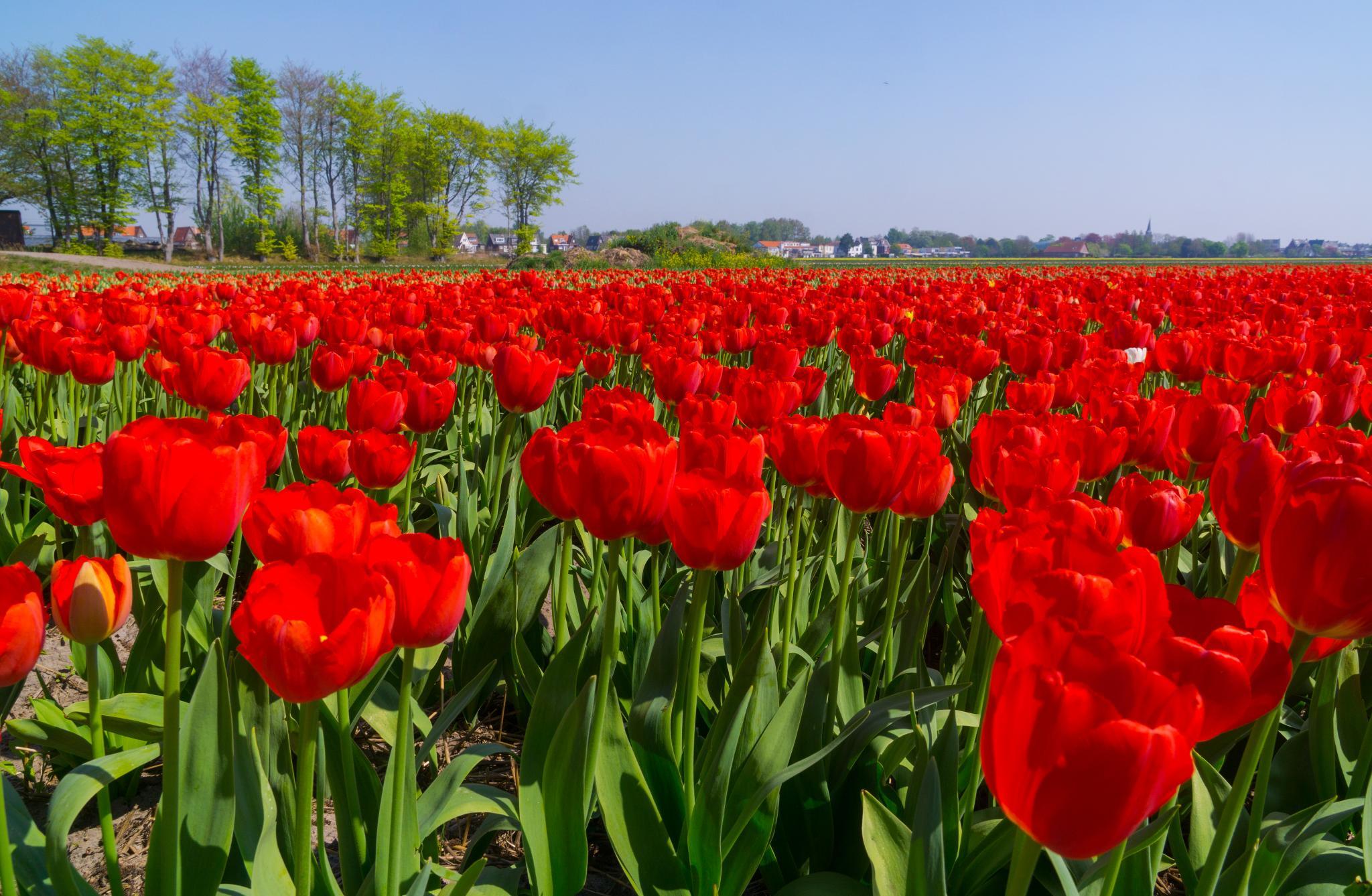 【荷蘭印象】花田嬉事:荷蘭單車花之路 25