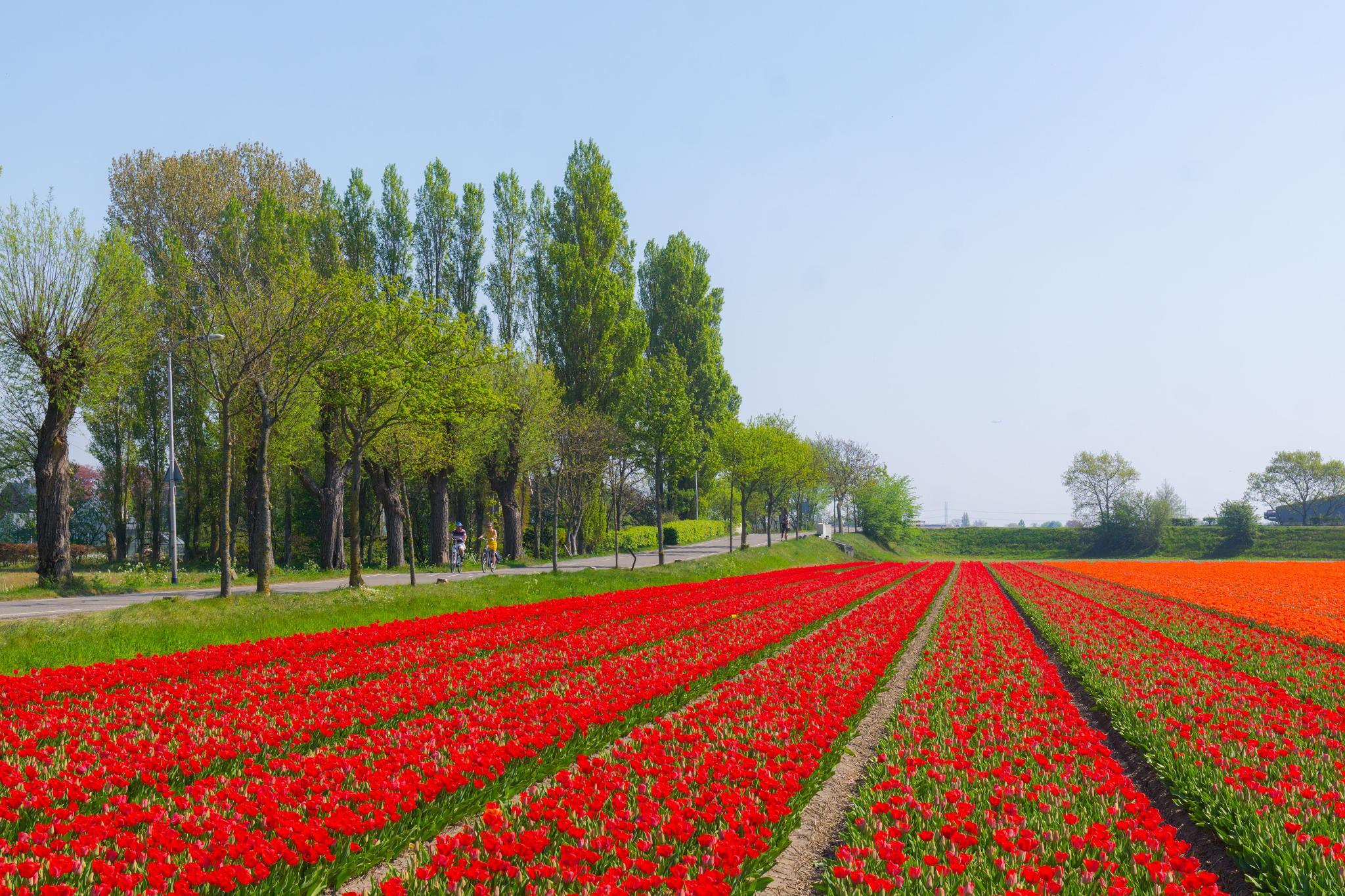 【荷蘭印象】花田嬉事:荷蘭單車花之路 31