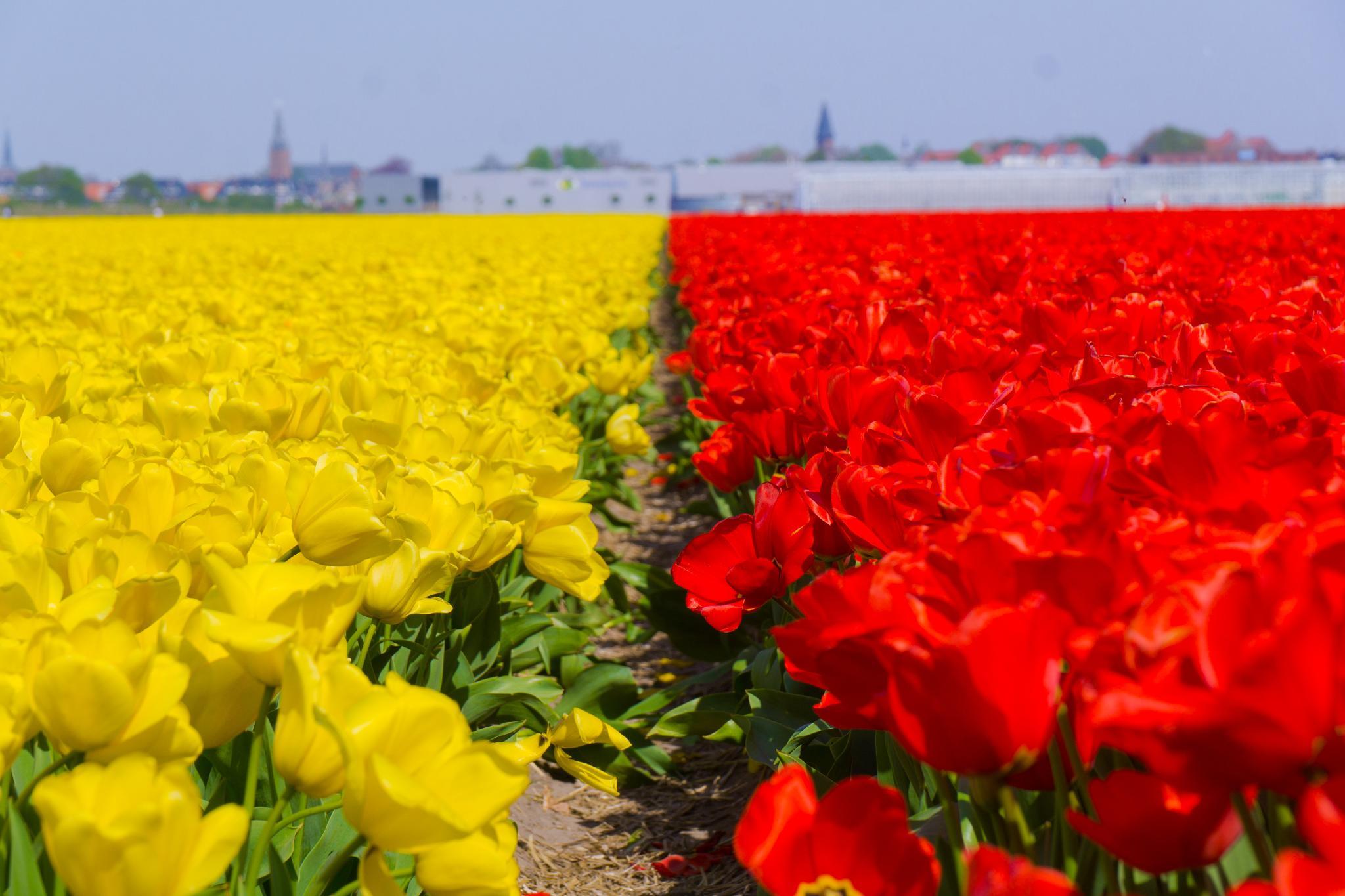 【荷蘭印象】花田嬉事:荷蘭單車花之路 41