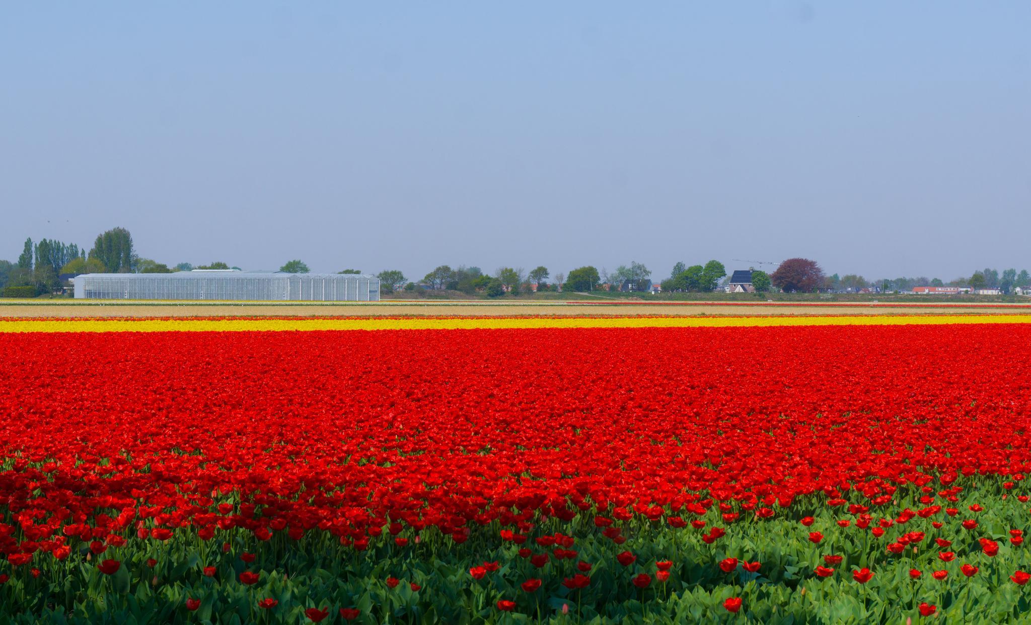 【荷蘭印象】花田嬉事:荷蘭單車花之路 43