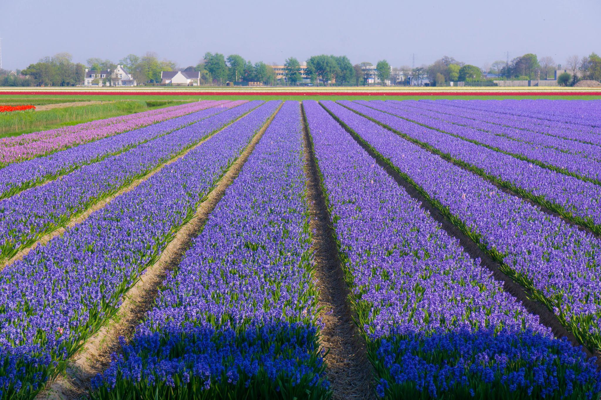【荷蘭印象】花田嬉事:荷蘭單車花之路 47