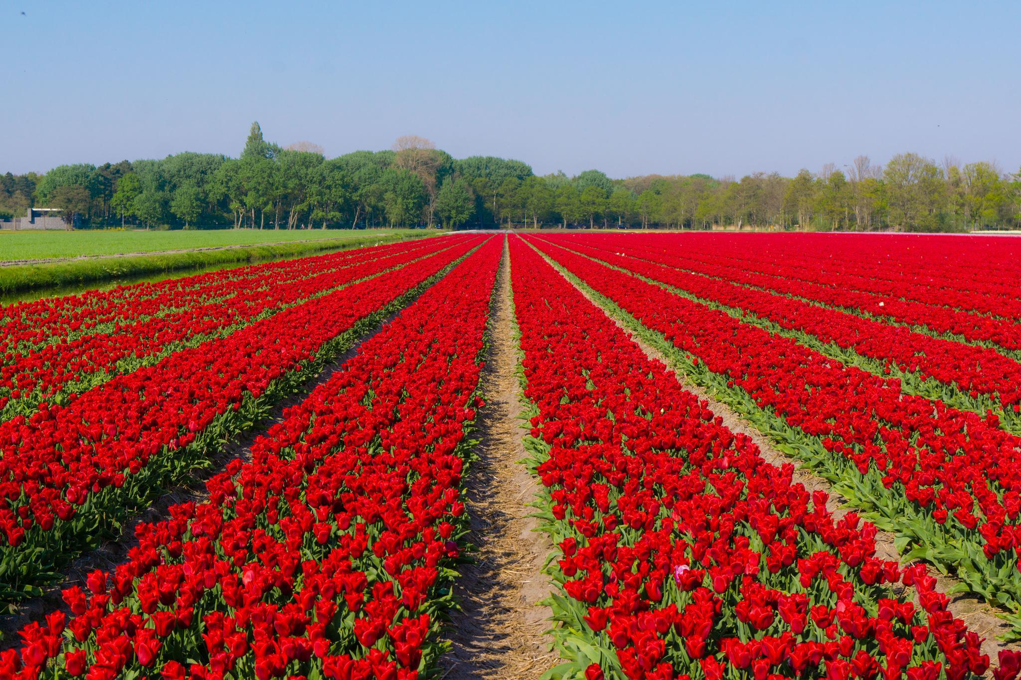 【荷蘭印象】花田嬉事:荷蘭單車花之路 46